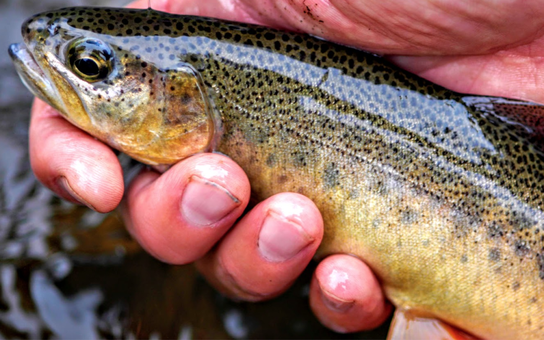 Why is it important that we recover southwestern trout?