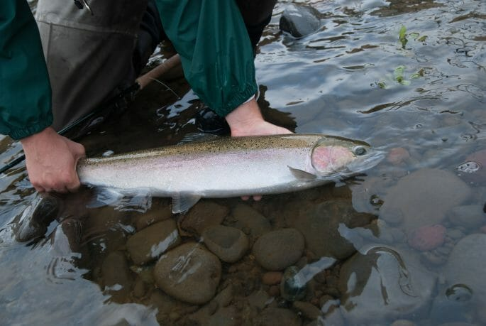 Northern California summer steelhead could be listed by 2020
