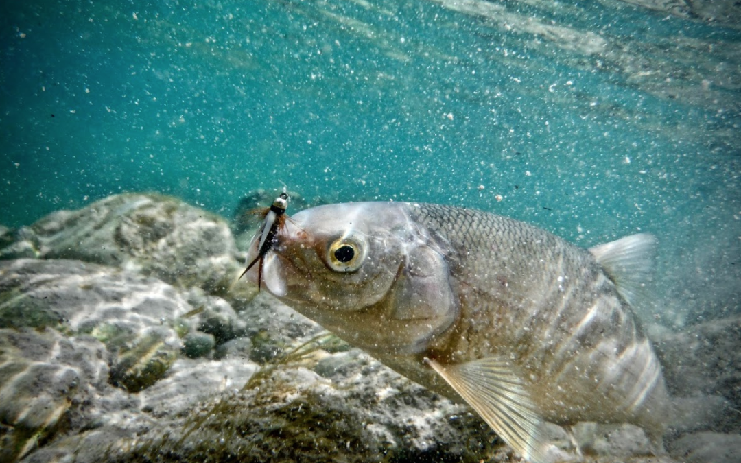 The lowly whitefish