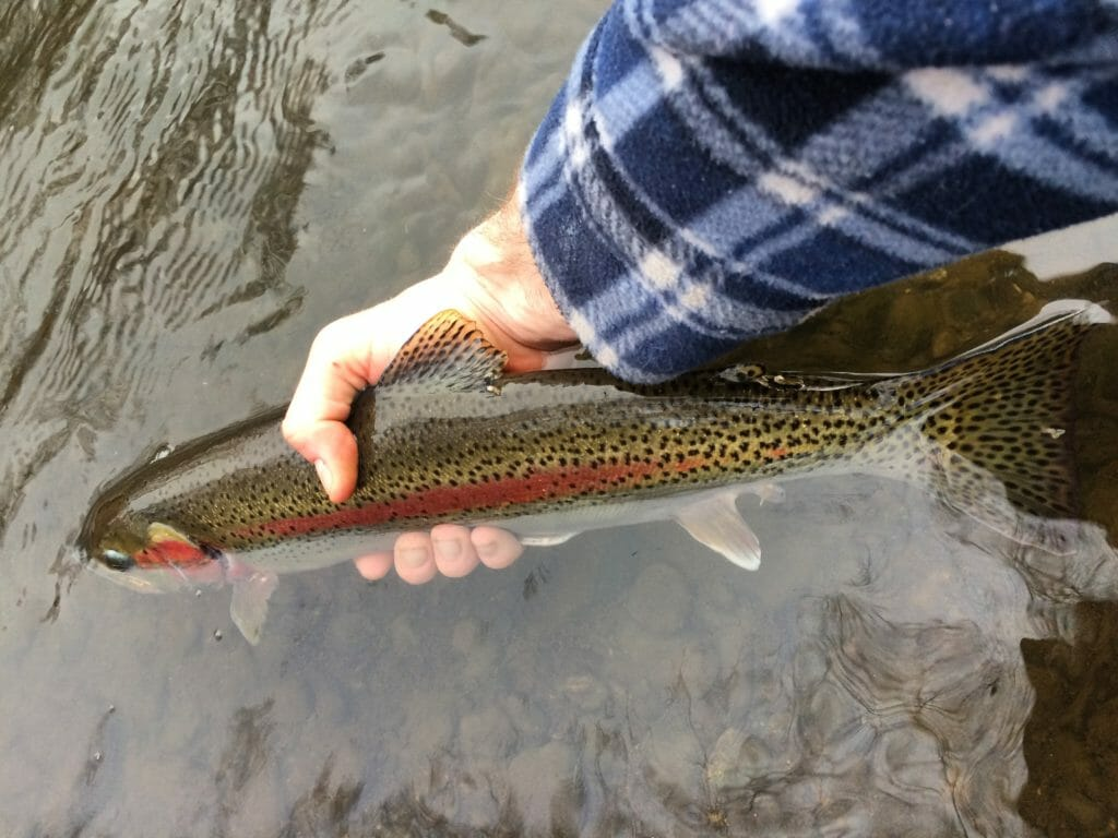A rainbow trout caught and released in an urban trout stream in Anchorage.