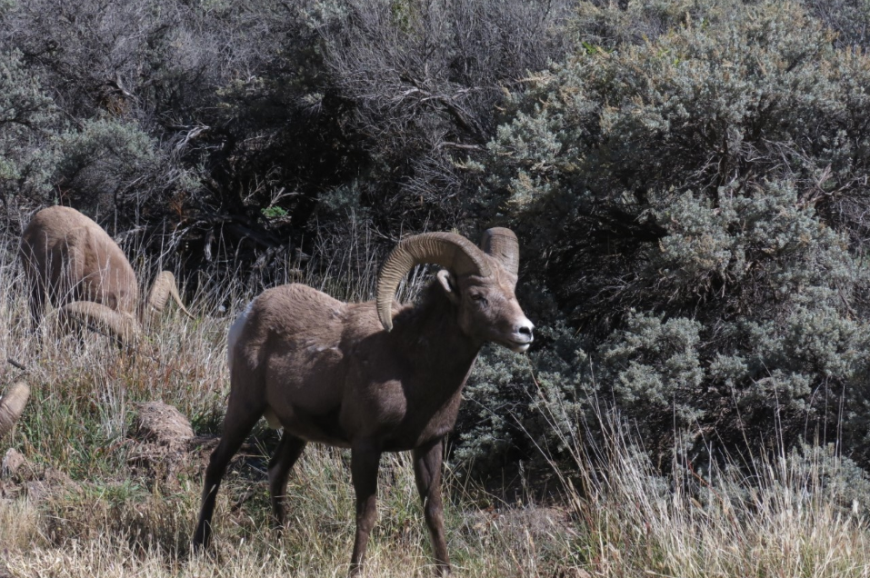 Bighorn sheep graze in New Mexico.