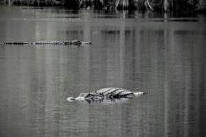 Alligators sunning themselves in the Okefenokee National WIldlife Refuge.
