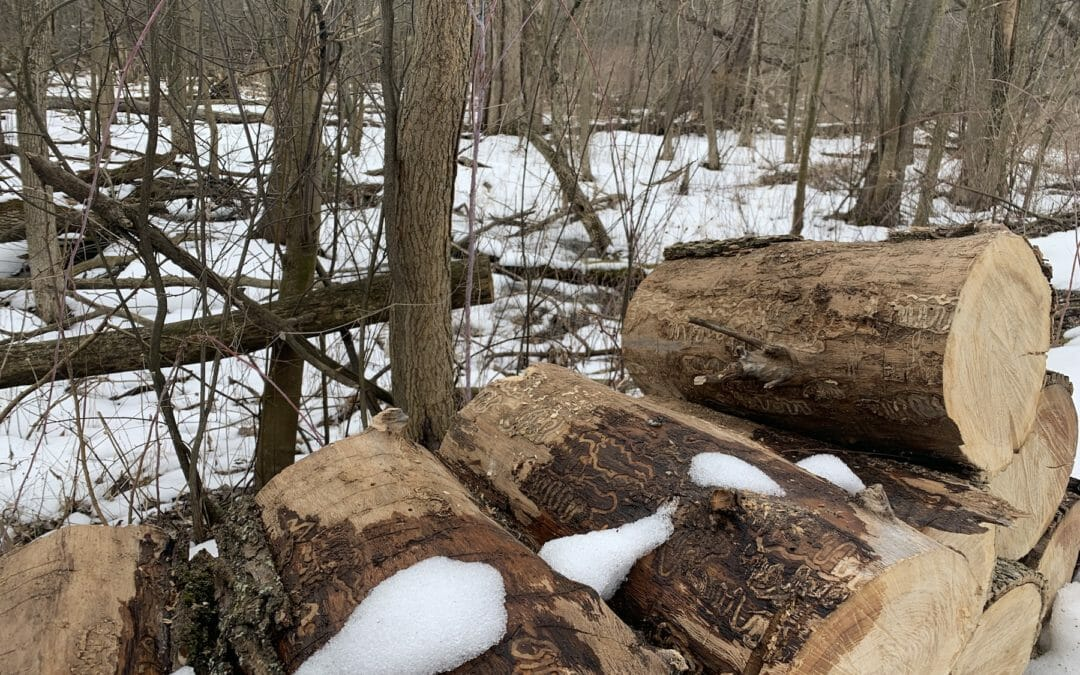 TU replanting  Michigan forests hit by ash borer