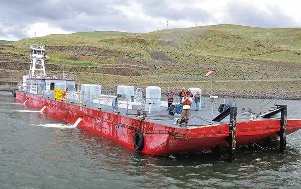 Barging increases likelihood of hatchery fish straying into wild steelhead populations
