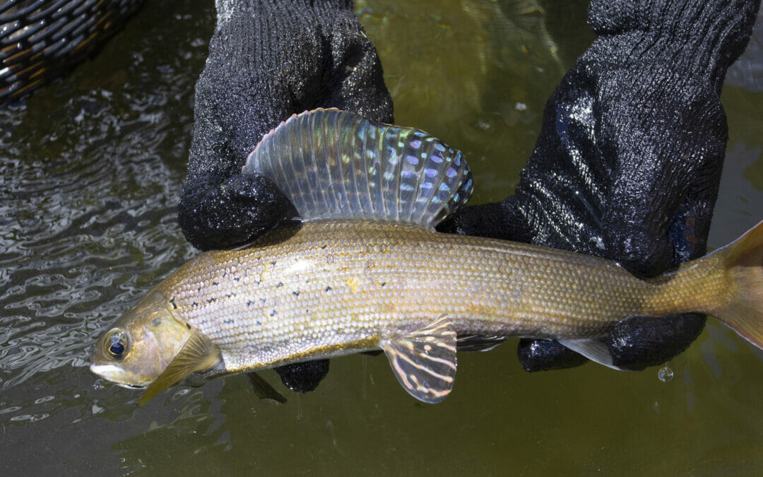 How grayling are propagated across the Centennial State
