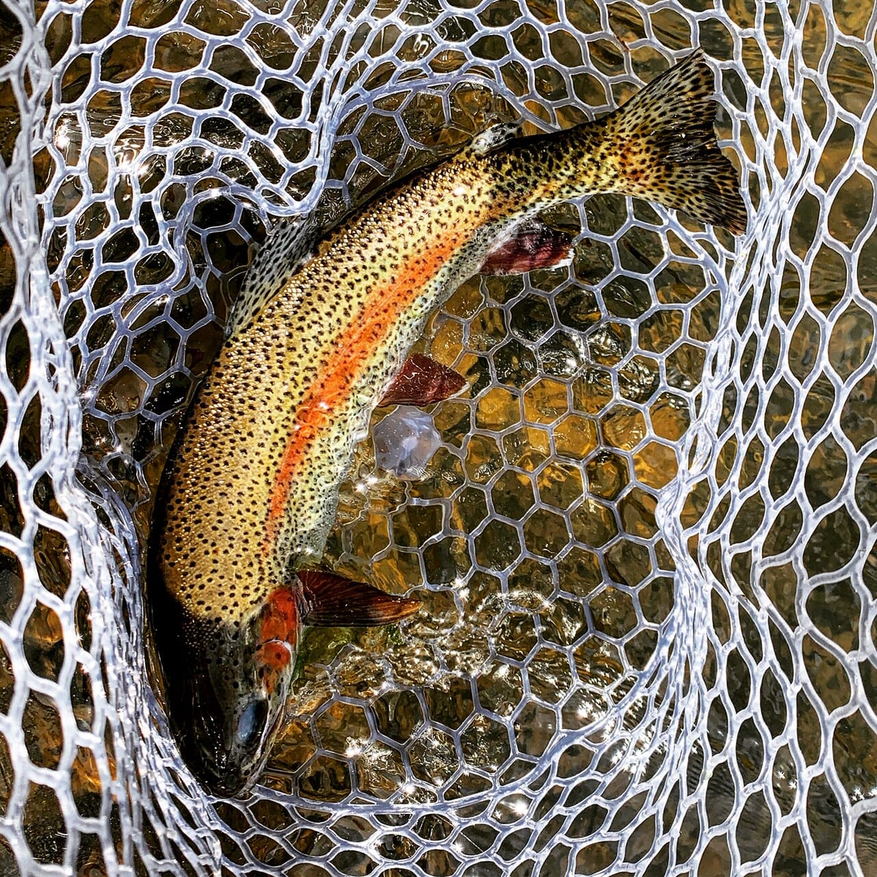 A rainbow trout in a net.