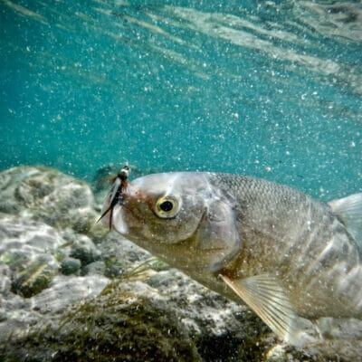 An underwater look at a mountain whitefish.