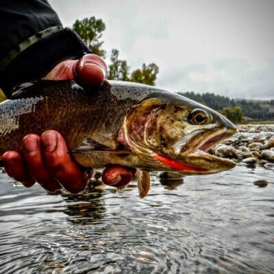 Yellowstone cutthroat trout.