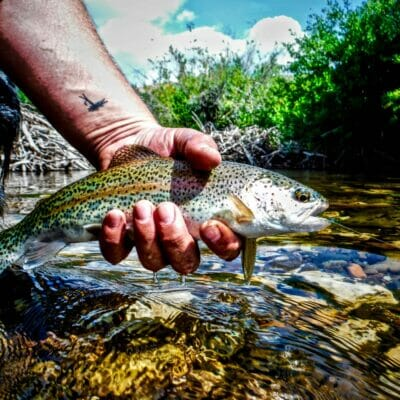 A rainbow trout from Idaho's Little Lost River.