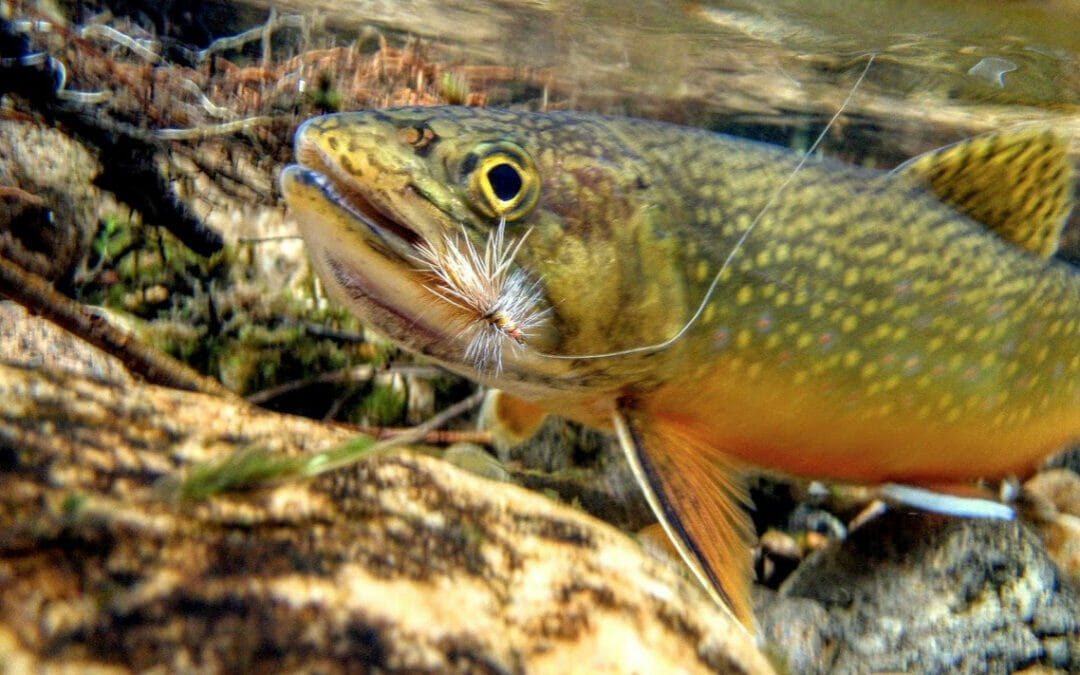 Keeping brook trout secrets in Appalachia