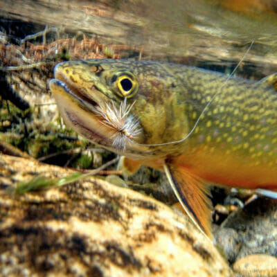A brook trout hooked by a fly.
