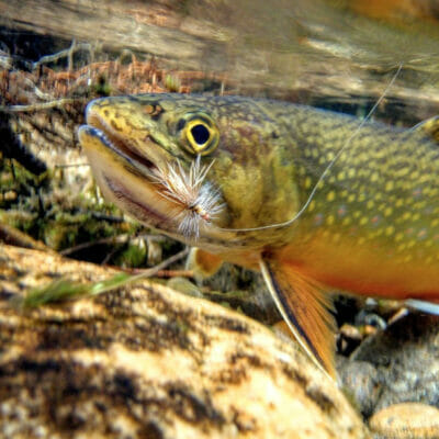 A brook trout under water.
