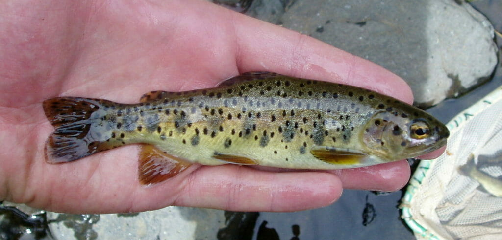 An Apache trout from Arizona.