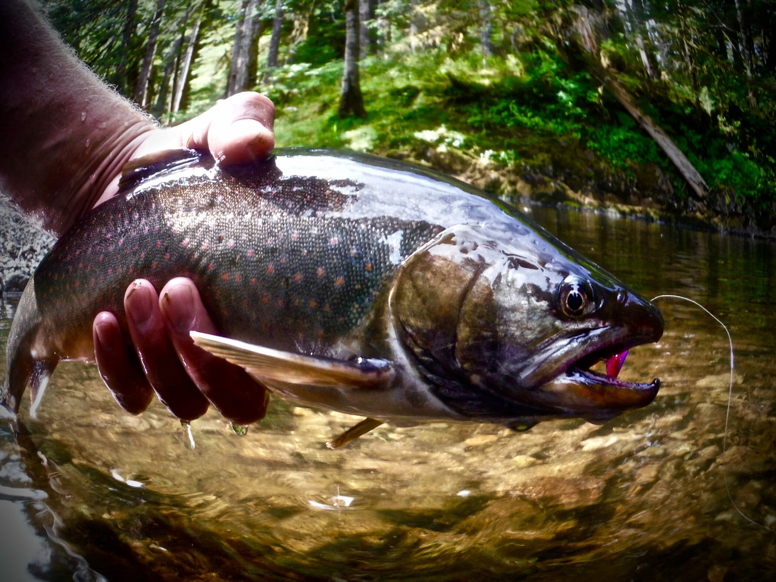 A Dolly Varden from Alaska's Tongass National Forest