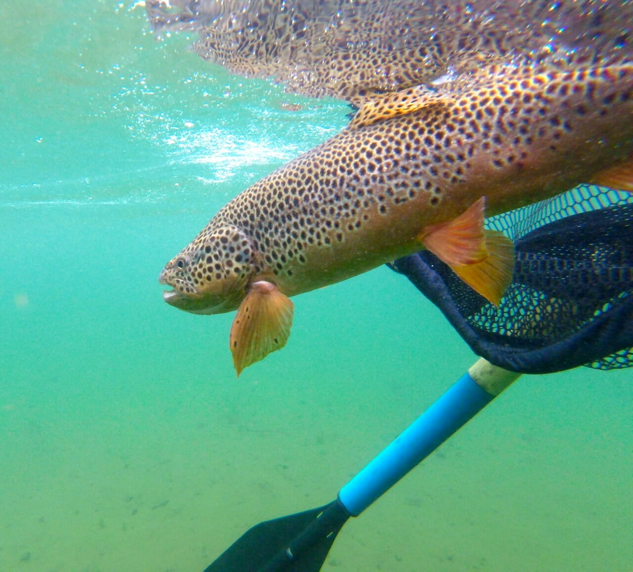 Releasing a brown trout into a river.