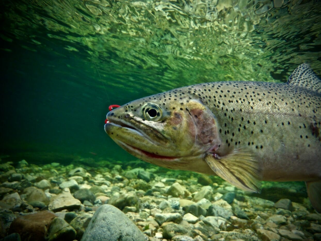 A cutthroat trout under water.